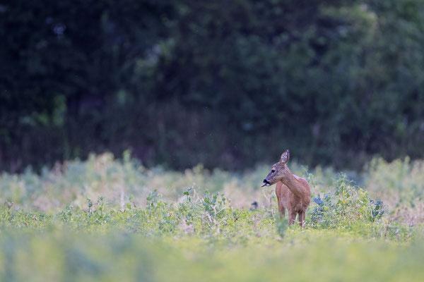 Reh,Ricke,Roe Deer doe,Capreolus capreolus 0220