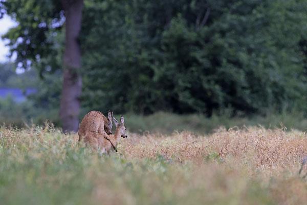 Rehbock,Capreolus capreolus,Roe Deer buck 0270