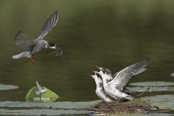 Trauerseeschwalbe,Black Tern,Chlidonias niger 0014