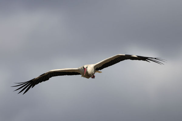 Weissstorch,White Stork,Ciconia ciconia 0023