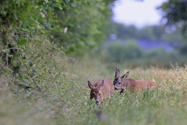 Rehbock,Capreolus capreolus,Roe Deer buck 0260
