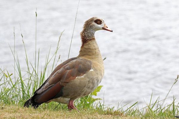 Nilgans,Alopochen aegyptiaca,Egyptian Goose 0002