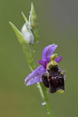 Durance-Hummel-Ragwurz Ophrys druentica 0003