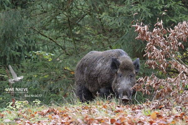 Wildschweinkeiler,Wild Boar tusker,Sus scrofa 0077