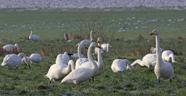 Singschwan,Whooper Swan,Cygnus cygnus 0038
