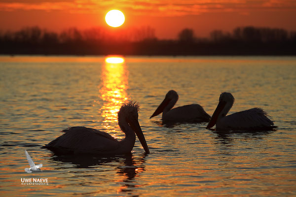 Krauskopfpelikan,Dalmatien pelican,pelecanus crispus 0043