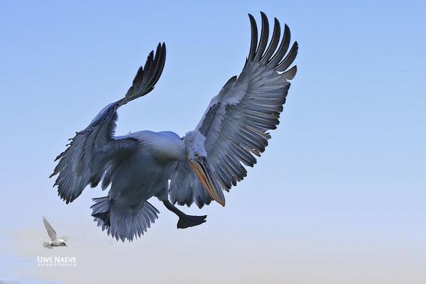 Krauskopfpelikan,Dalmatien pelican,pelecanus crispus 0063