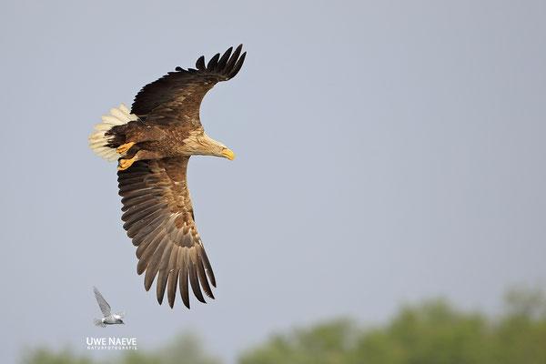Seeadler ,Haliaeetus albicilla,Sea eagle 0112