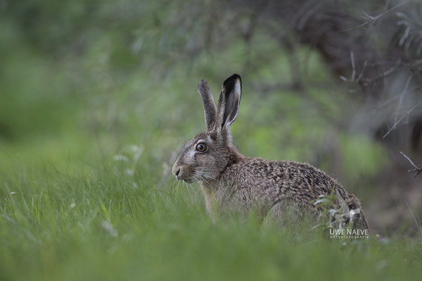 Feldhase Brown Hare Lepus europanus 0022