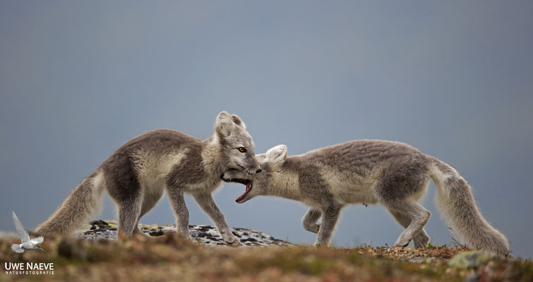Polarfuchs,Eisfuchs,Arctic Foxes,Alopex lagopus,Vulpex lagopus 0095