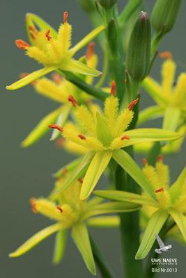 Beinbrech gelbe Moorlilie Aehrenlilie Bog asphodel Narthelium ossifragum.