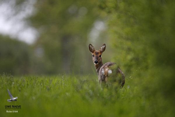 Reh,Ricke,Roe Deer doe,Capreolus capreolus 0164