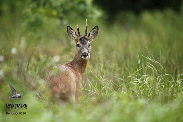 Rehbock Capreolus capreolus Roe Deer buck 0220