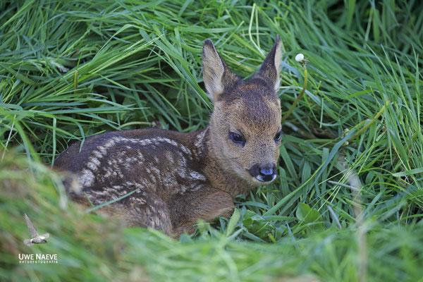Rehkitz,Roe Deer fawn,Capreolus capreolus 0097
