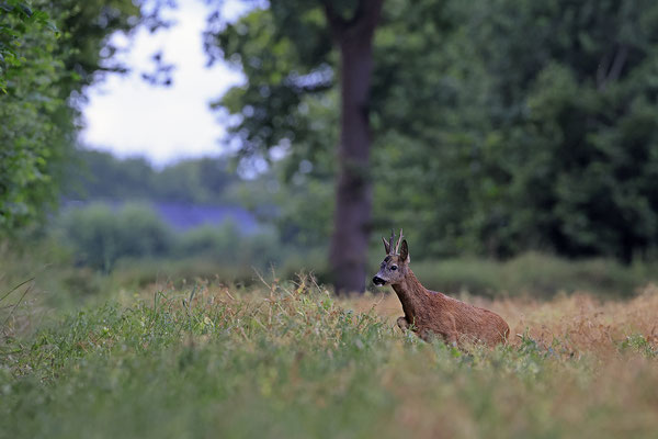 Rehbock,Capreolus capreolus,Roe Deer buck 0273