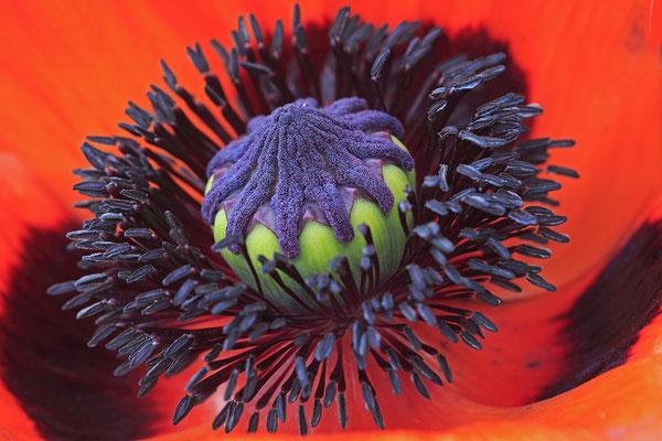 Tuerkischer Mohn papaver orientale Poppy 0003