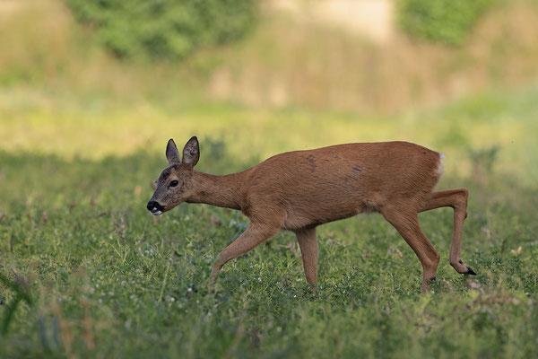 Reh,Ricke,Roe Deer doe,Capreolus capreolus 0223