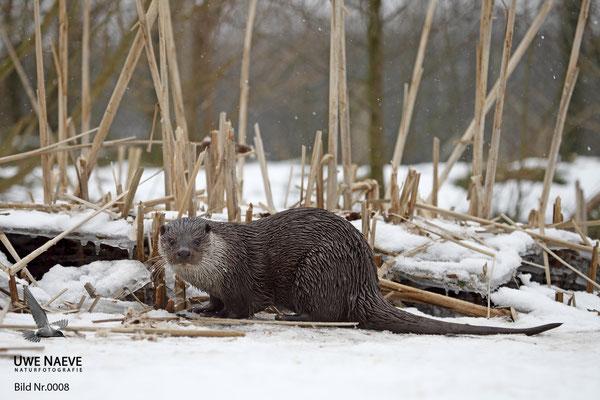 Fischotter,Otter,Lutra lutra 0008