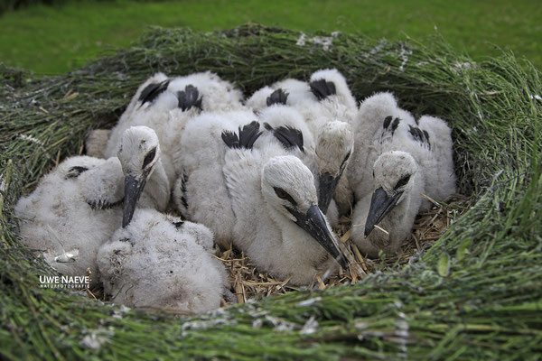 Weissstorch,White Stork,Ciconia ciconia 0119