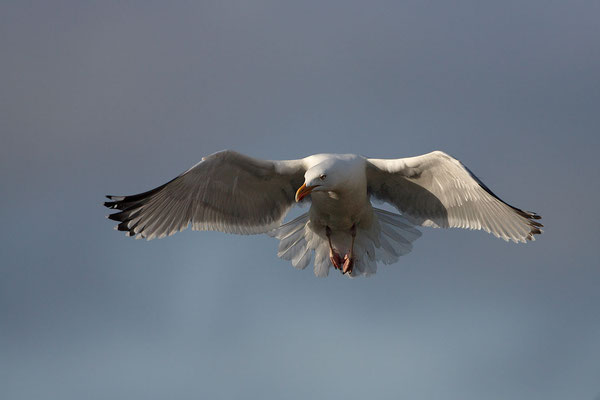 Heringsmoewe,Larus fuscus,Lesser Black-backed Gull 0010