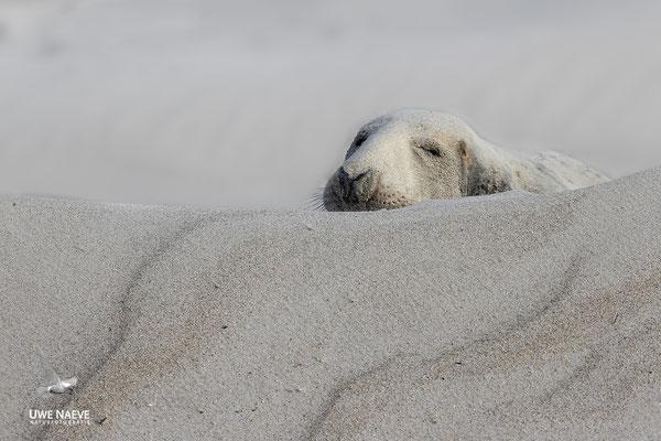 Kegelrobbe,Grey Seal,Halichoerus grypus 0185