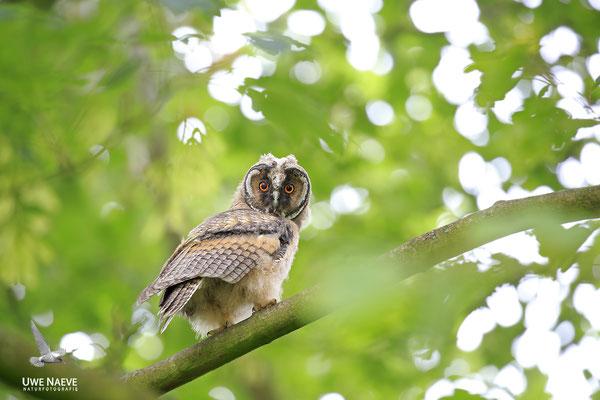 Waldohreule,Asio otus,Long-eared Owl 0039