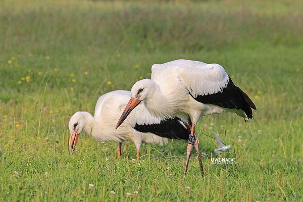 Weissstorch,Weisstorch,White Stork,Ciconia ciconia 0138