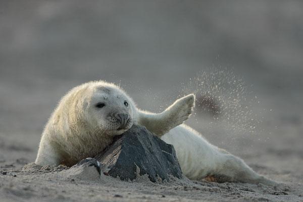 Kegelrobbe,Grey Seal,Halichoerus grypus 0033