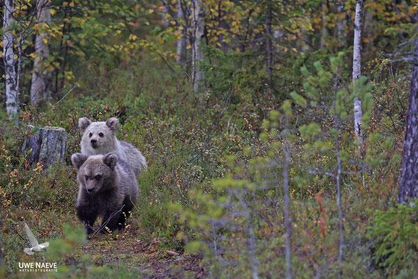Braunbaer Ursus arctos brown bear 0057