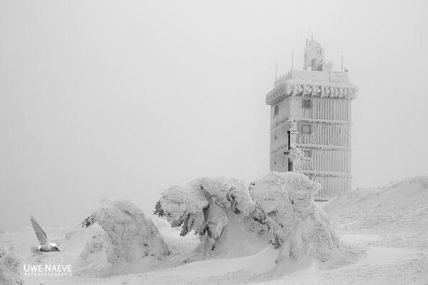 Harz, Brocken,Fichtenwald im Winter 8765