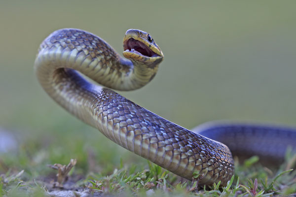 Äskulapnatter,Zamenis Congissimus,Aesculapian Snake 0002