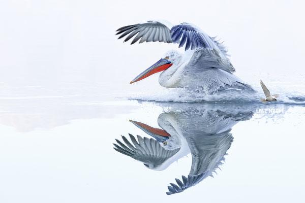 Krauskopfpelikan,Dalmatien pelican,pelecanus crispus 0082
