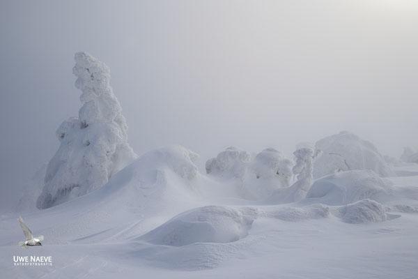 Harz, Brocken,Fichtenwald im Winter 8860