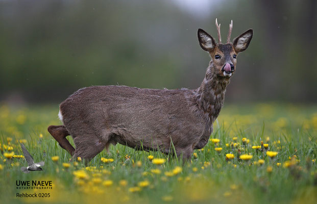 Rehbock Capreolus capreolus Roe Deer buck 0205