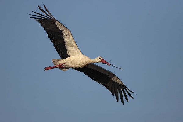 Weissstorch,White Stork,Ciconia ciconia 0022