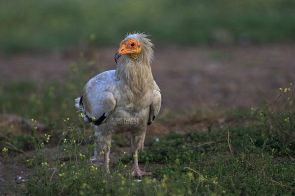 Schmutzgeier Neophron percnopterus Egyptian vulture 0003