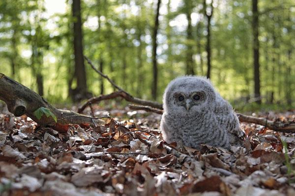 Waldkauz,Strix aluco,Tawny Owl 0008