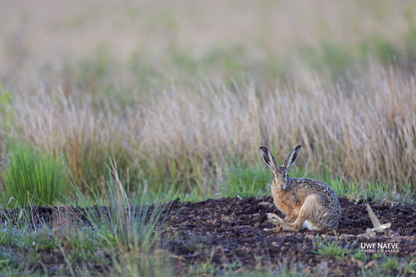 Feldhase Brown Hare Lepus europanus 0033