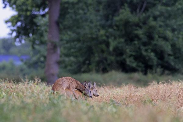 Rehbock,Capreolus capreolus,Roe Deer buck 0272