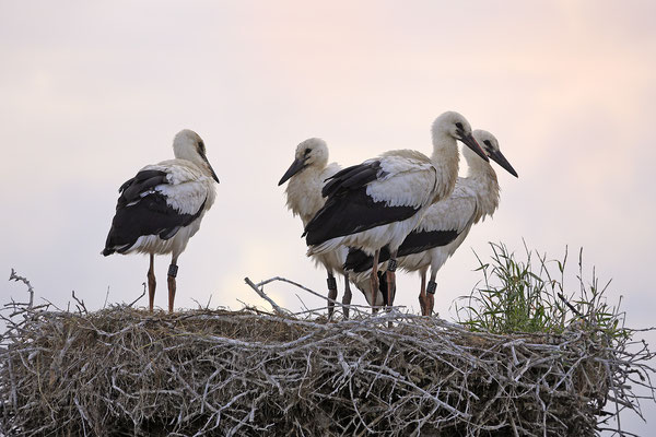 Weissstorch,White Stork,Ciconia ciconia 0101