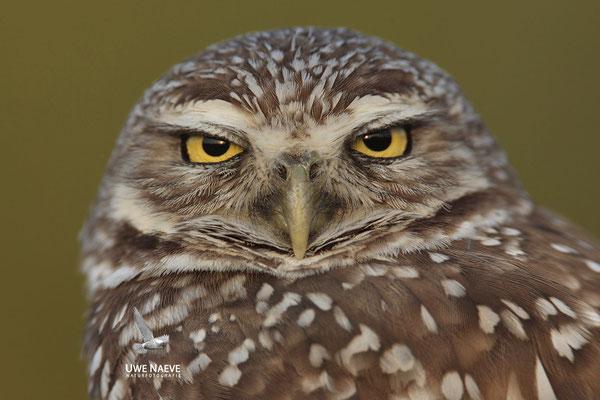 Kaninchenkauz, Burrowing Owl,Speotyto cuniculuria 0025