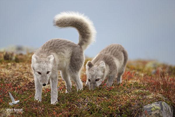 Polarfuchs,Eisfuchs,Arctic Foxes,Alopex lagopus,Vulpex lagopus 0093