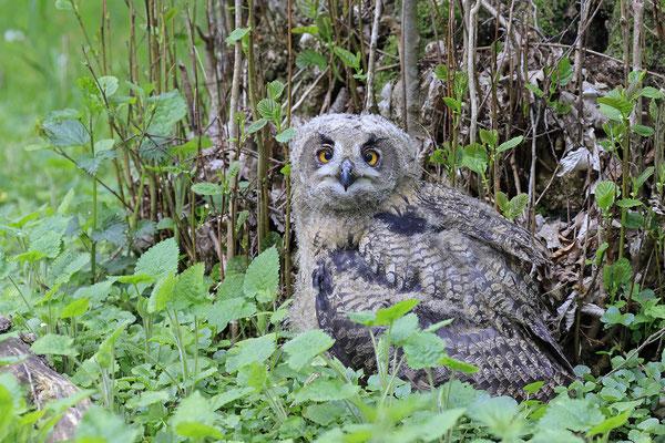 Uhu,Bubo bubo,Eagle Owl 0071