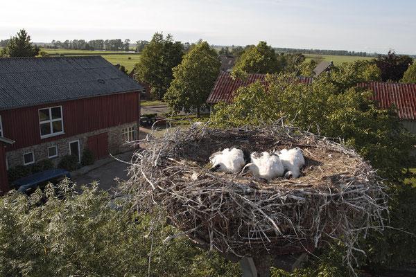 Weissstoerche,White Stork,Ciconia ciconia 0059