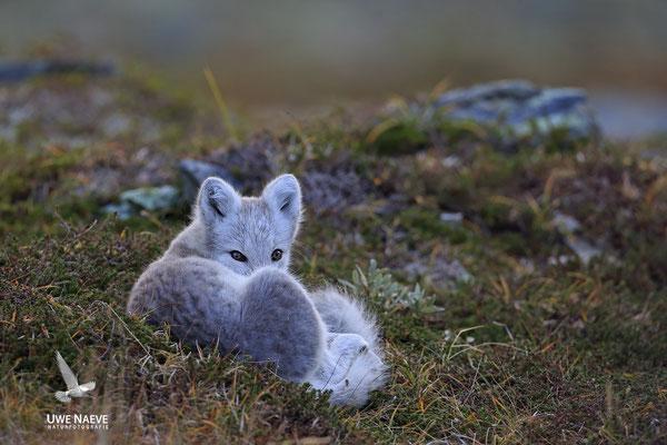 Polarfuchs,Eisfuchs,Arctic Foxes,Alopex lagopus,Vulpex lagopus 0070