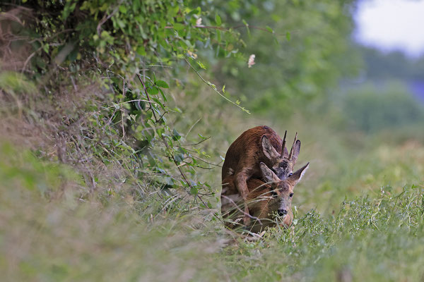 Rehbock,Capreolus capreolus,Roe Deer buck 0264