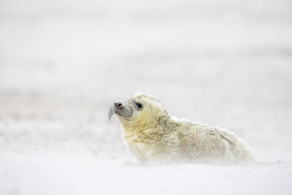 Kegelrobbe,Grey Seal,Halichoerus grypus 0139