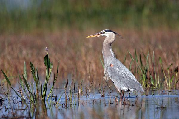 Kanadareiher, Great bleu Heron,Adrea herdias 00569