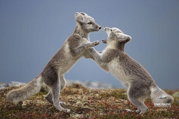 Polarfuchs,Eisfuchs,Arctic Foxes,Alopex lagopus,Vulpex lagopus 0101