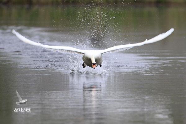 Hoeckerschwan,Mute Swan,Cygnus olor 0052